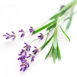 Sprigs of lavender isolated on white background